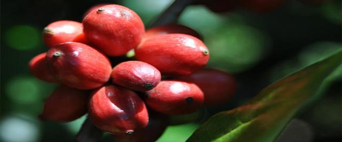 Amazônia produz robustas finos e cafés especiais com aromas diferenciados