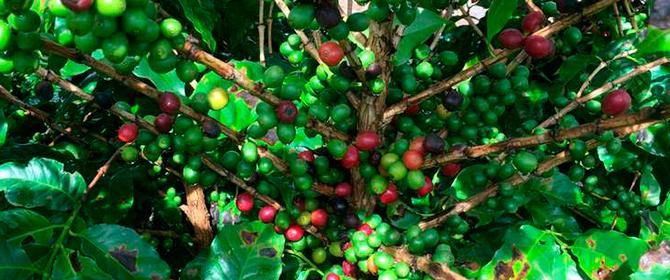 Colheita de café avança mais lentamente no Brasil; tem boa qualidade, diz Cepea