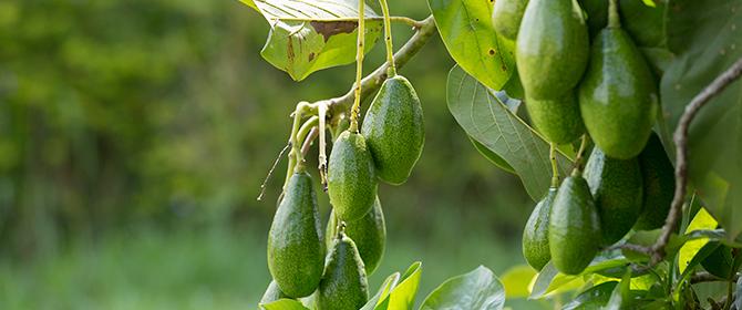 O Abacate