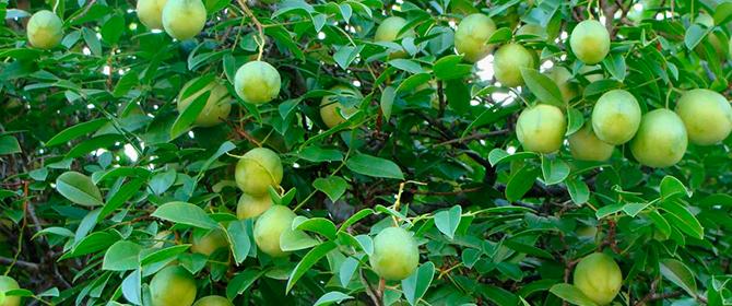 Umbu, Imbu - A fruta e o cultivo